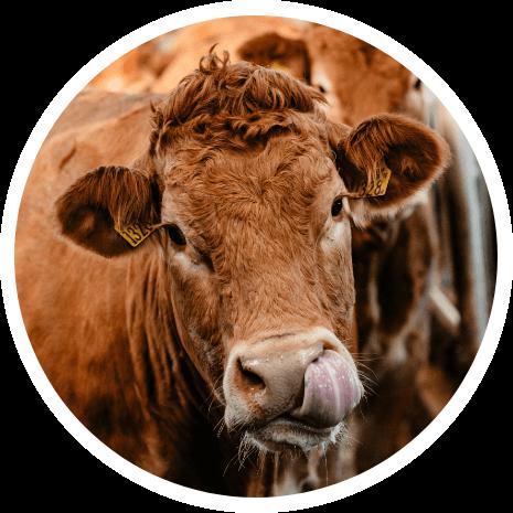 Limousin koe van Perrys vleesproducten
