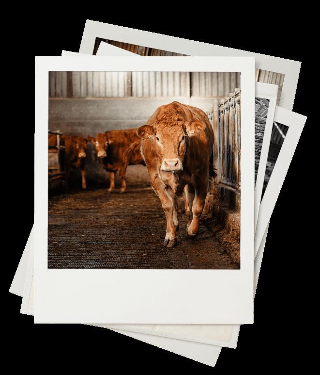 Limousinerunderen van Perrys vleesproducten
