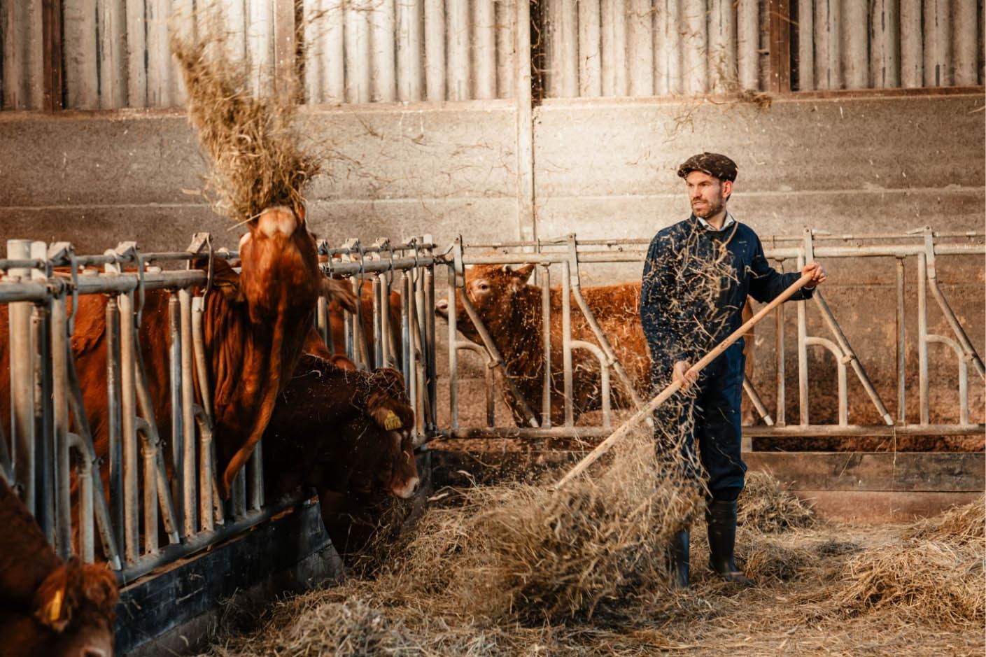 Perry met runderen